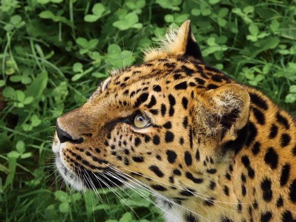 Amur Leopard by Drighlynne