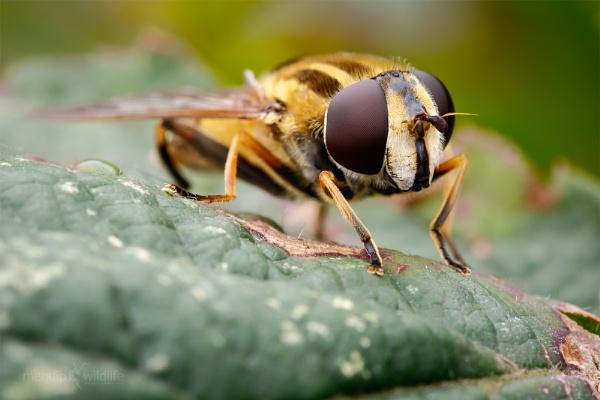 Hoverfly - Helophilus sp. by Mendipman