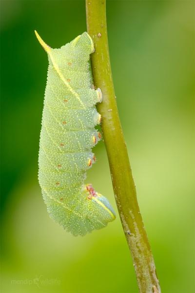 Poplar Hawk-moth - Laothoe populi by Mendipman
