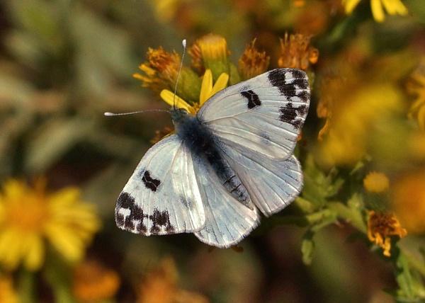 Bath White Butterfly by georgiepoolie