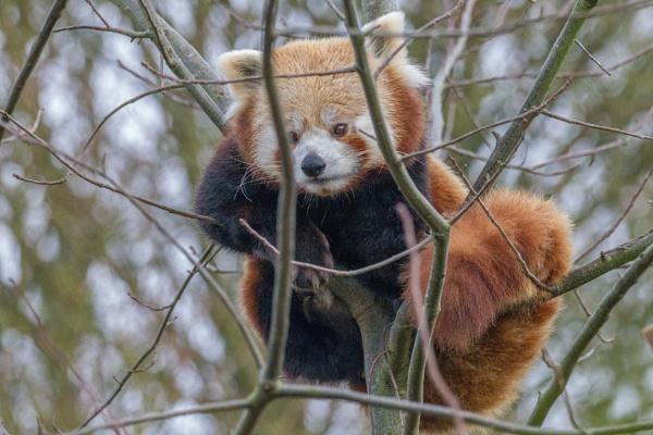 Red Panda by jcannon