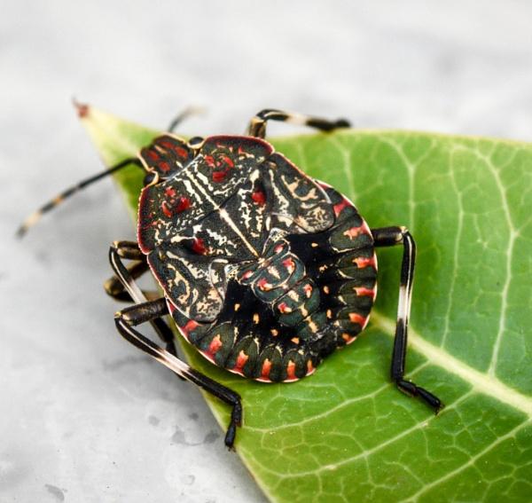 Shield bug by Coen