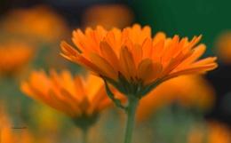 Cottage garden Marigolds.