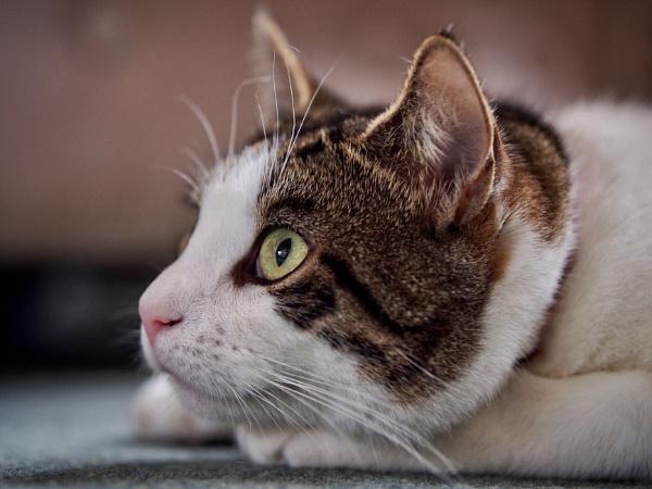 Tabby Cat.Dylan. by victorburnside