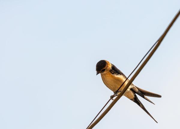 Bird on wire and blue sky by rninov