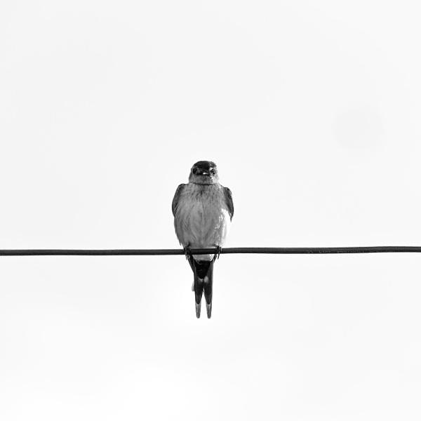 Bird on wire and empty sky by rninov