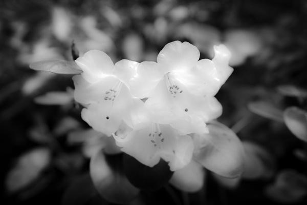 Soft - Azalea by philstan