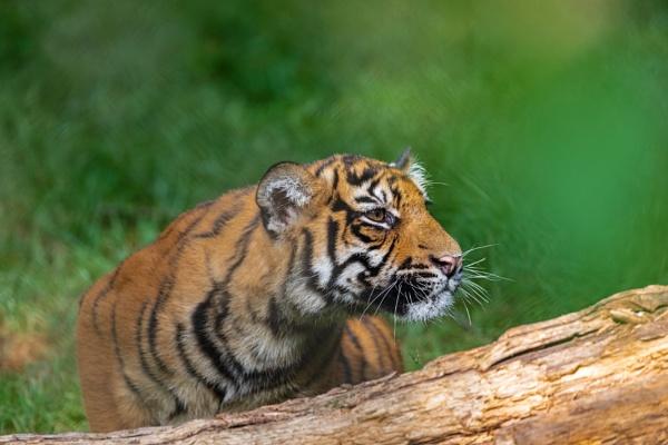 Sumatra-Tiger by mongol