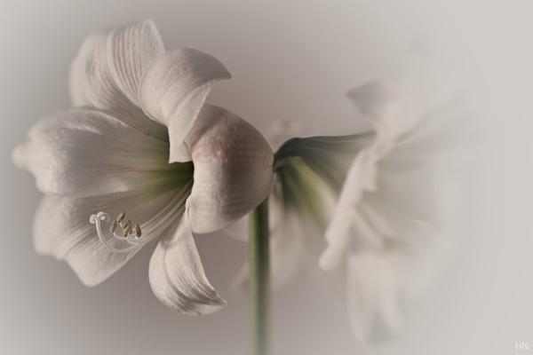 Amaryllis (2) by HarmanNielsen