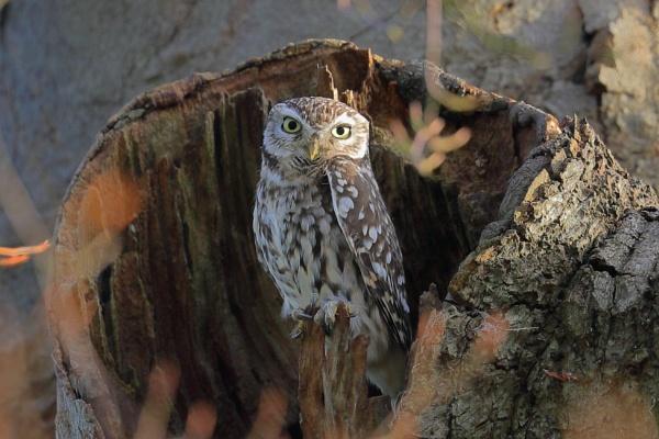 Little Owl Surprise by Juanita