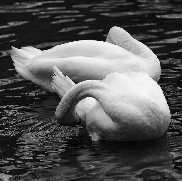 White swans by LotaLota