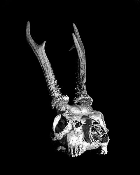 Roe Deer Skull by lagomorphhunter