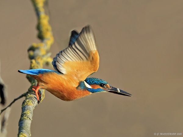 Kingfisher by GPMASS