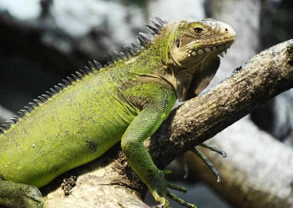 Lesser Antillean Iguana by GeoffRundle