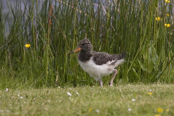 An Oystercatcher fledgling by johnsd