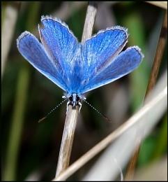 Common Blue(m) - Polyommatus icarus 02 :-