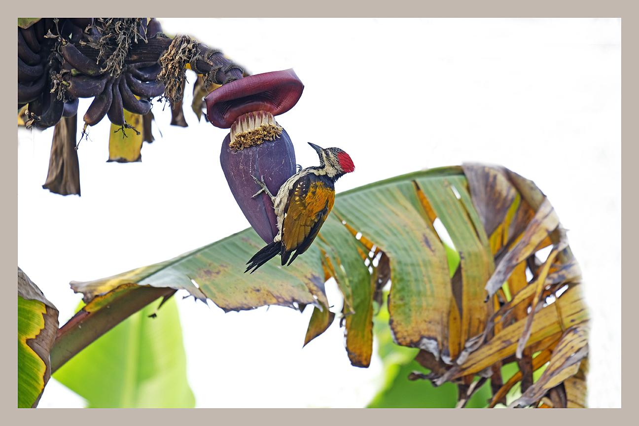 Common Golden-back Woodpecker