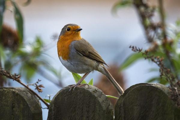 Robin by Eddie91