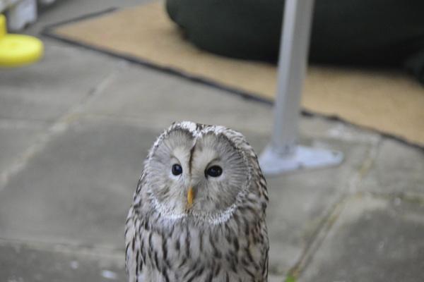 Owl by peterthowe