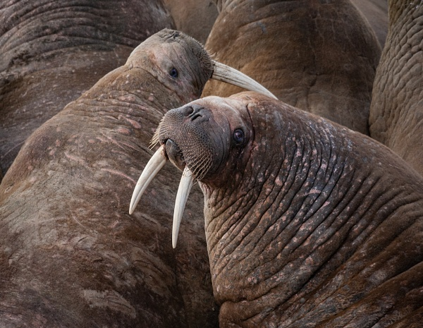 Walrus pair by rontear