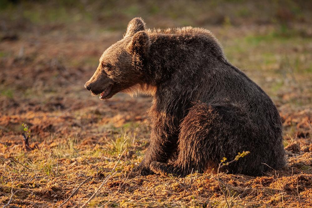 European Brown Bear cub