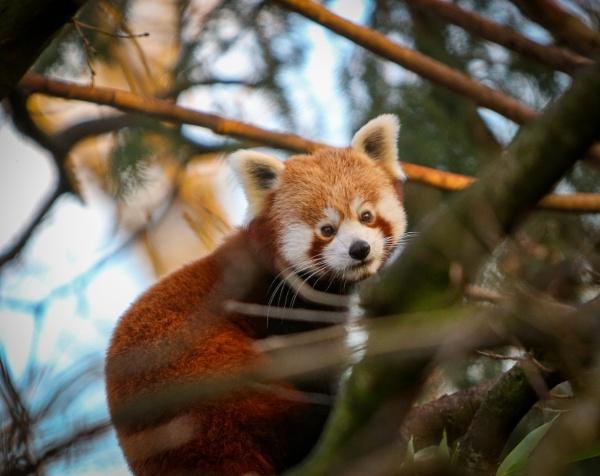 Beautiful Red Panda by bobelle
