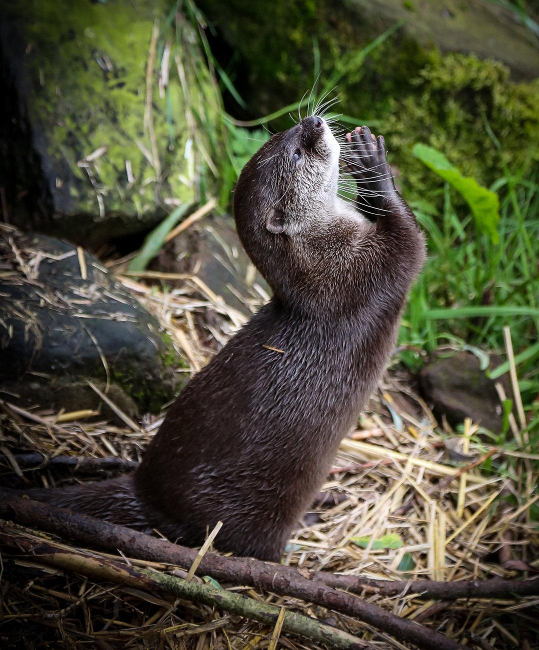 A Praying Otter