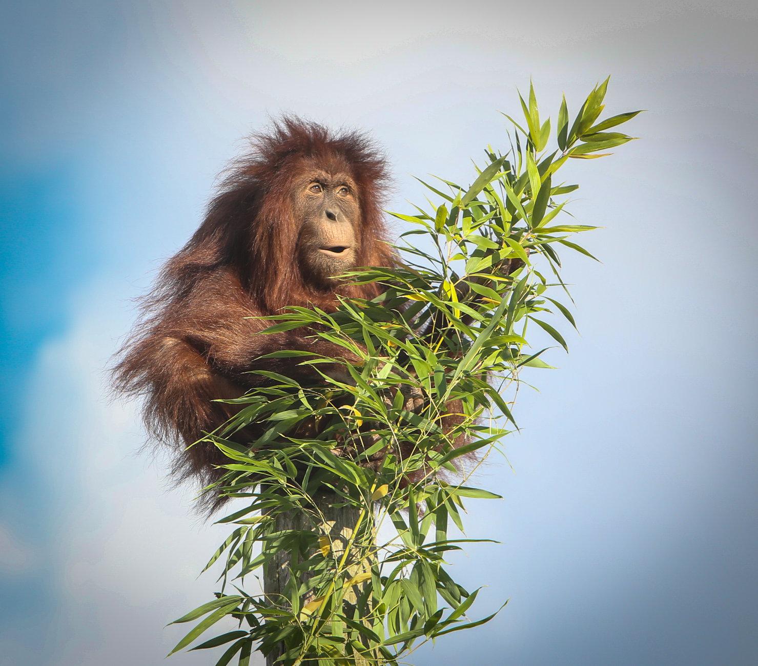 A beautiful Orangutan