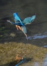 Diving kingfisher by AlanWillis