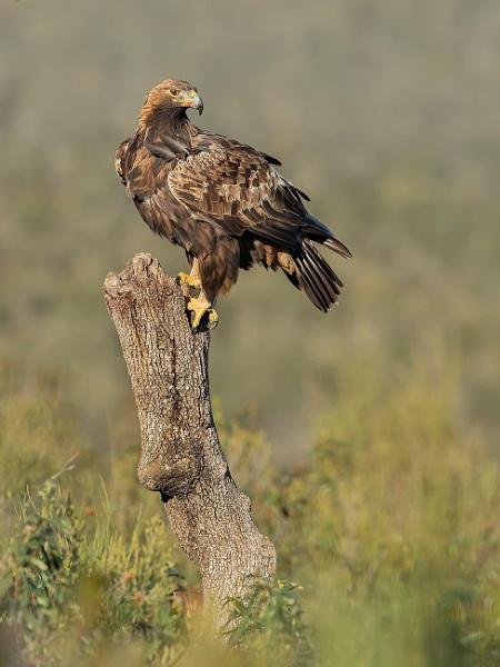 Wild Golden Eagle by Jamie_MacArthur