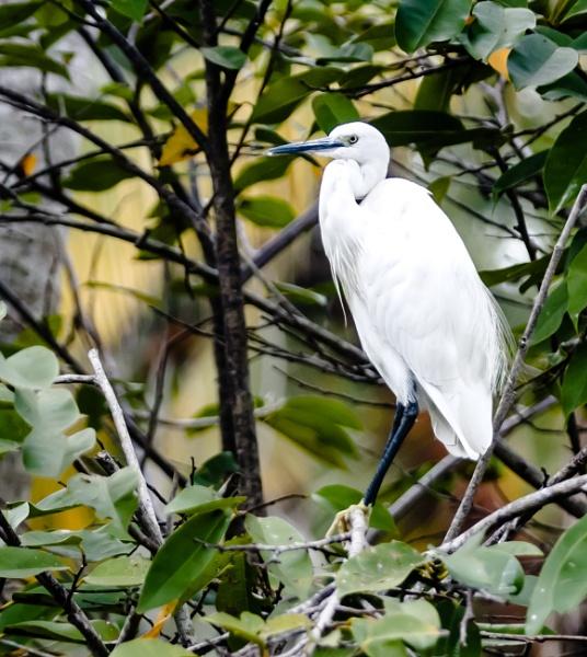 Egret by bobbyl