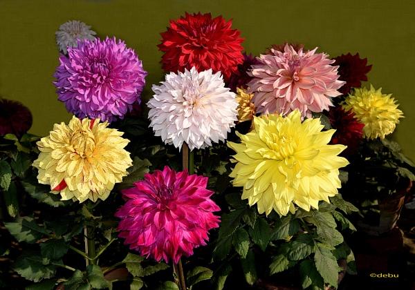 Mixed Colors Dahlias by debu