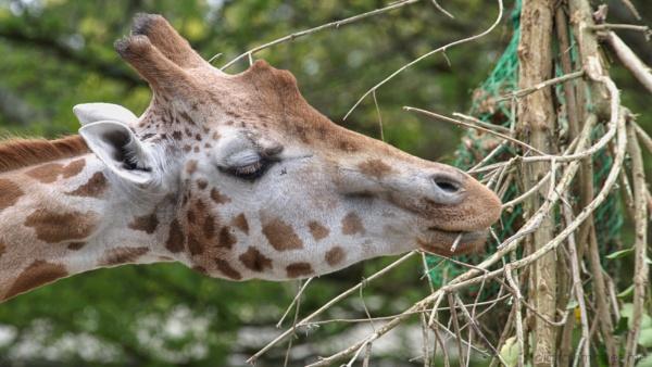 Giraffe by Alan_Baseley