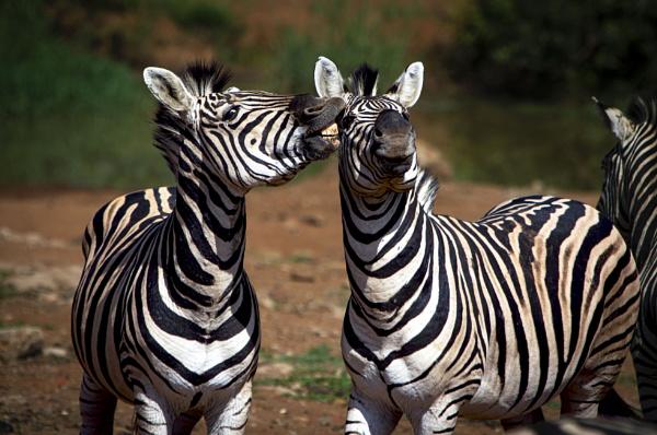 Zebra Gossip by cat001