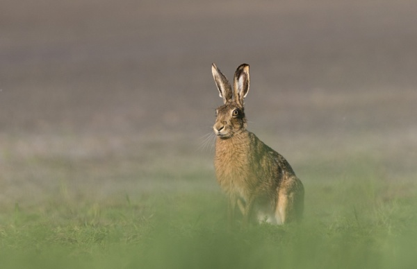 Hare by gilbertmjake