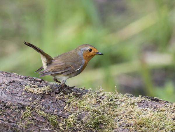 Robin by gilbertmjake