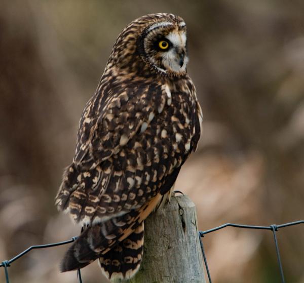 Short Eared Owl back hunting by StuartDavie