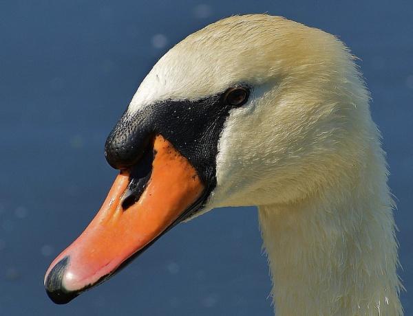 Swan portrait by nealie
