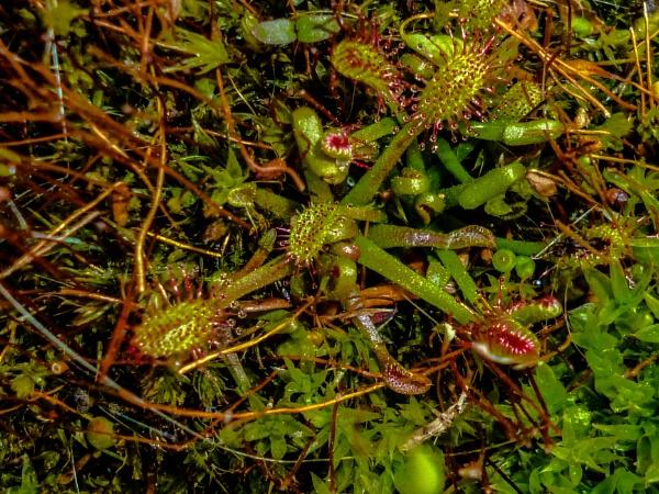 Drosera anglica by woodini254