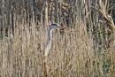 Grey Heron by Ted447