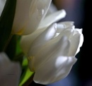 White silk by pentaxpatty at 16/01/2020 - 2:55 PM