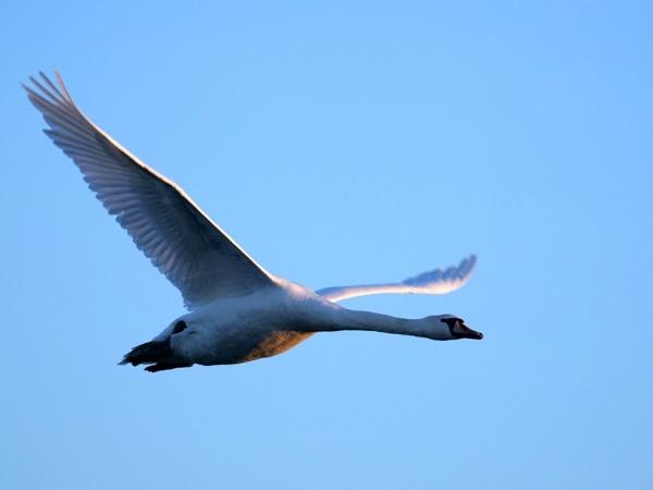 Mute swan by DerekHollis