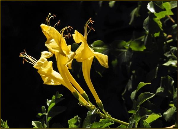 Cape honeysuckle by fotobee