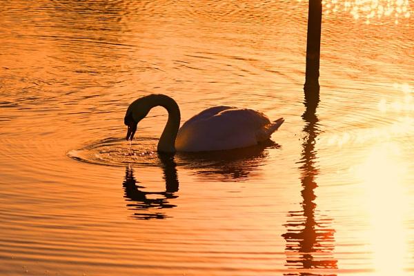 "\""Swan Golden Pond\"" by protrekker1"
