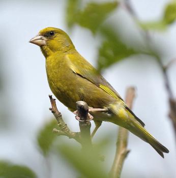 Green finch