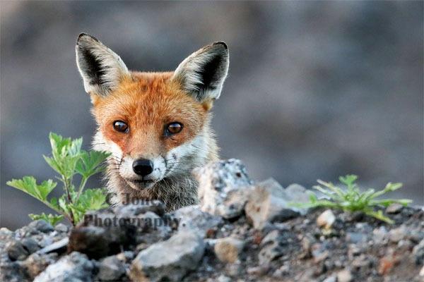 Fox by cjones