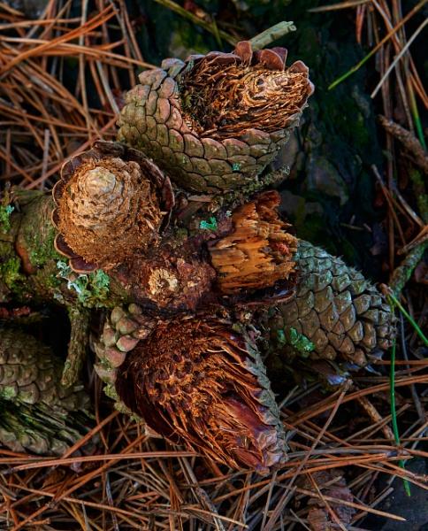 Fallen Pine Cones by JJGEE
