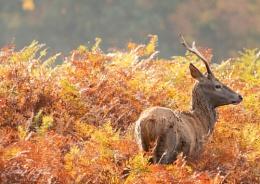 Richmond Deer October 2019