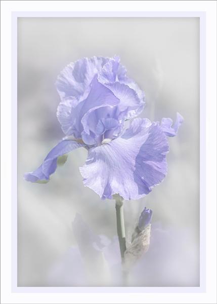 Iris 2 by AlfieK