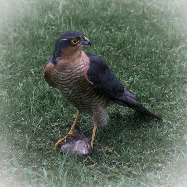 Sparrowhawk and Prey by Aveeno